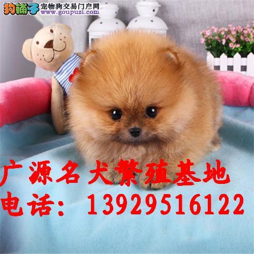 出售纯种白色哈多利球体博美幼犬 欢迎上门参观挑选