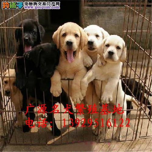 最佳伴侣犬拉布拉多、专业繁殖品质保证实物拍摄