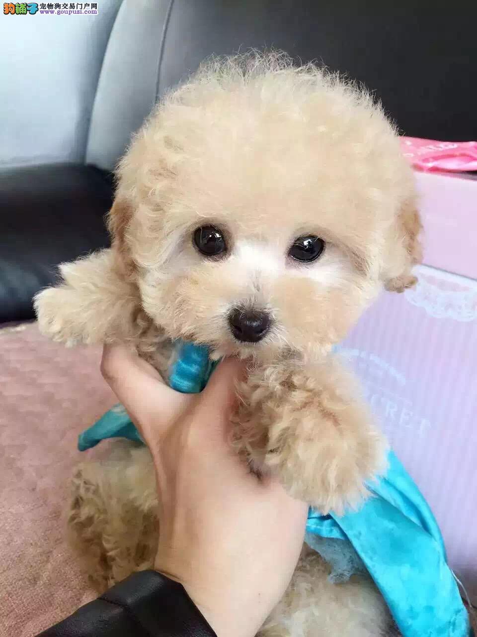 银川茶杯犬出售 银川茶杯犬照片 银川茶杯泰迪多少钱