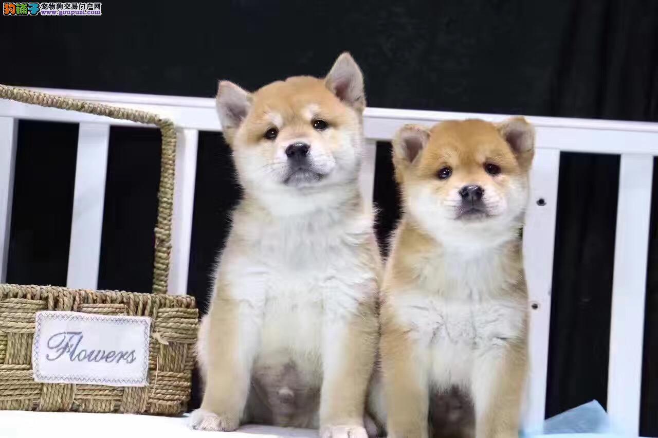 银川哪里卖纯种柴犬 银川哪里卖日系柴犬 柴犬价格