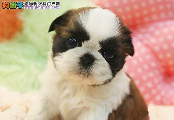 宠物狗狗纯种幼犬西施犬出售疫苗齐全健康保障