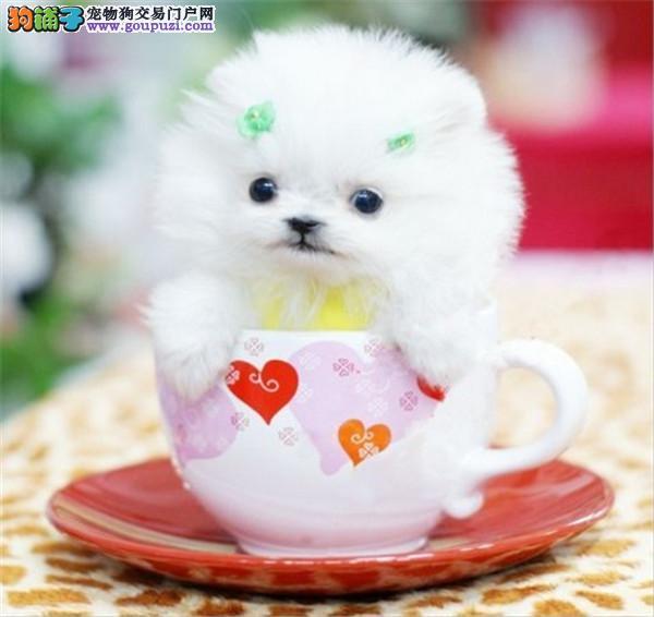大型专业培育茶杯幼犬包健康育苗驱虫齐全包纯种