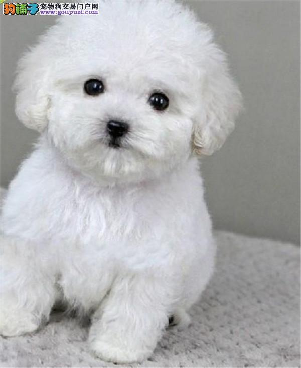 北京贵宾犬舍 泰迪贵宾价格 贵宾图片 贵宾犬多少钱