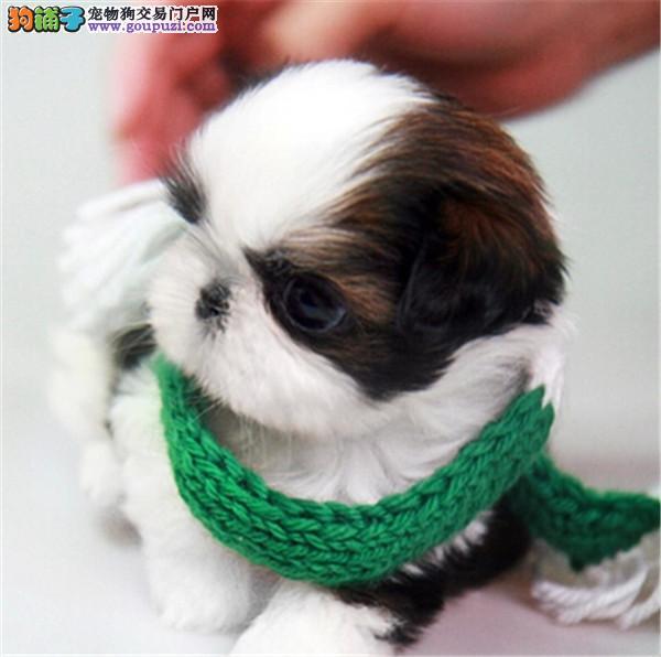 漂亮的狗狗 小型伴侣犬 适合居家的西施小狗