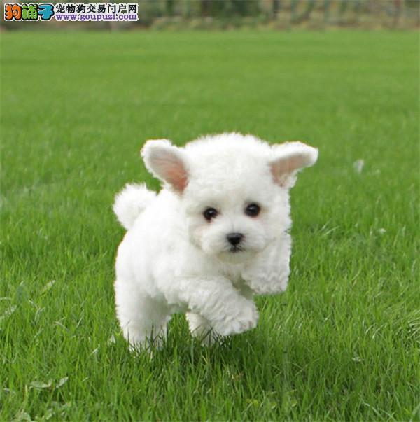 犬舍繁殖出售精品贵宾犬多只可挑选可签协议