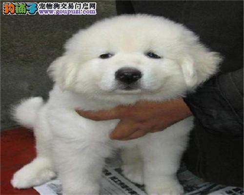 家养纯种繁殖纯种大白熊幼犬 自取1000