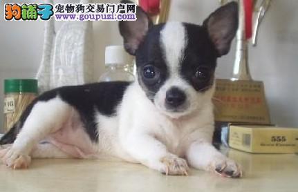 墨西哥吉娃娃 犬舍精心繁殖 来了可见父母 可签协议