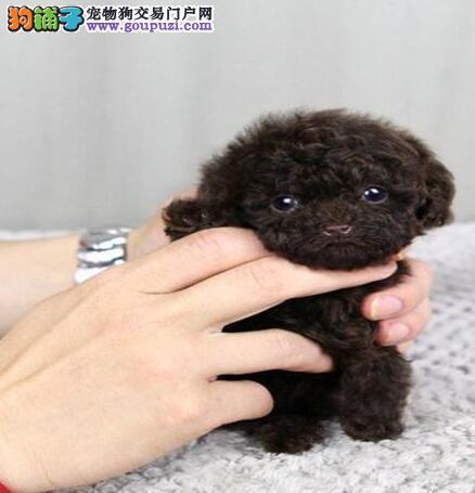出售泰迪犬 红泰迪 灰泰迪 巧克力泰迪茶杯犬