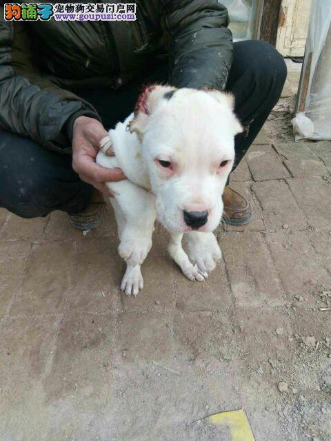 杜高犬哪里卖3个月的杜高幼犬多少钱