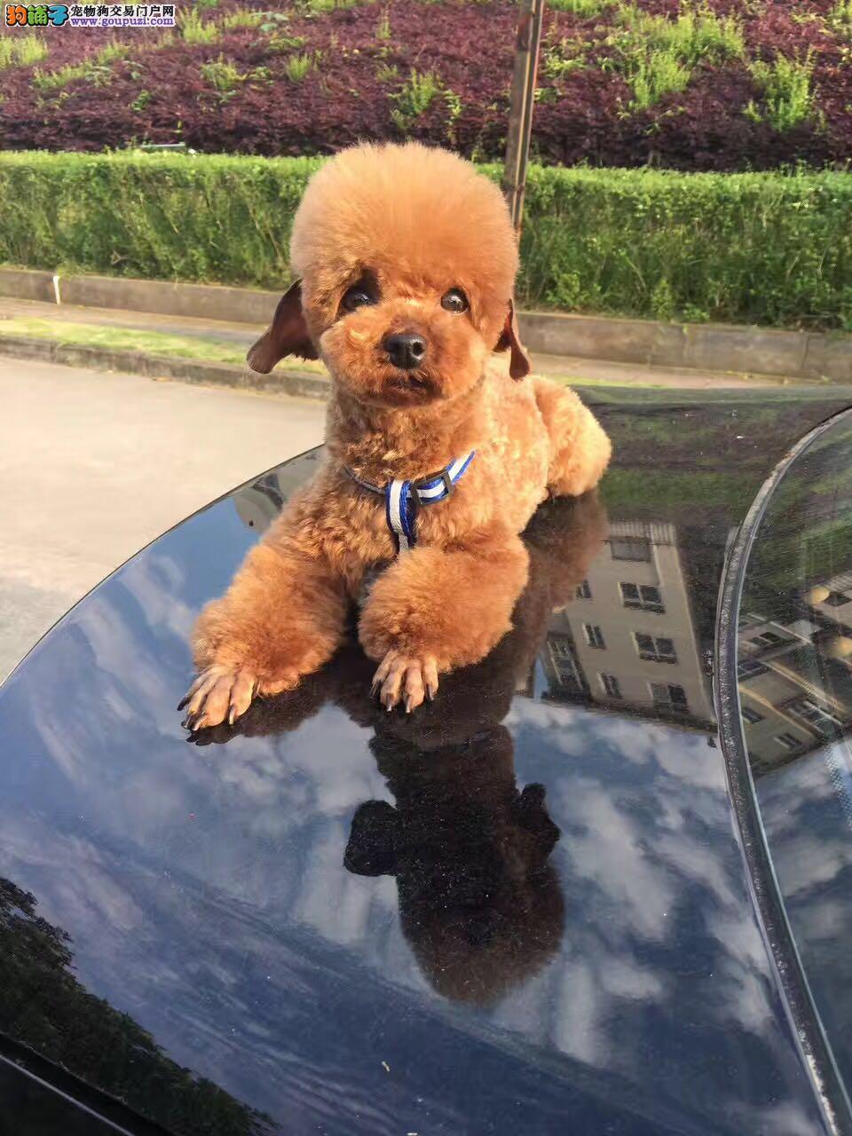 贵宾泰迪犬,专业繁殖纯种幼犬