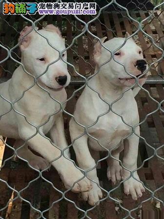 大骨版杜高犬成犬2个月幼犬哪里能买到