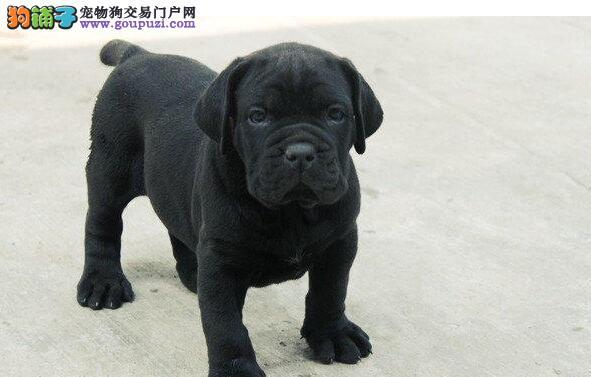 精品卡斯罗犬幼犬一对一视频服务买着放心全国十佳犬舍