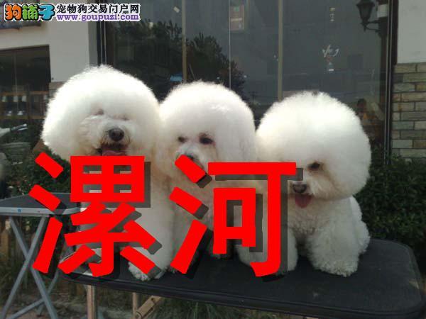 漯河最大狗场比熊犬销售,本地狗场几十个品种