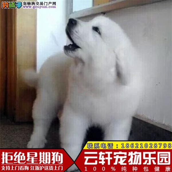 出售纯白大白熊犬 血统纯正包健康 大白熊狗幼犬