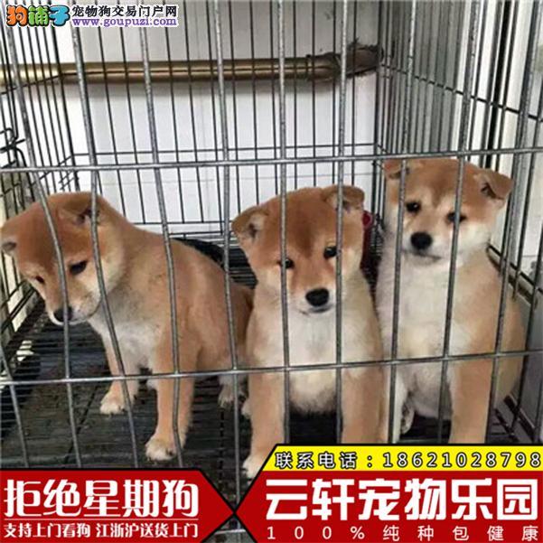 正宗日系柴犬,犬舍直销,包纯种,售后有保障