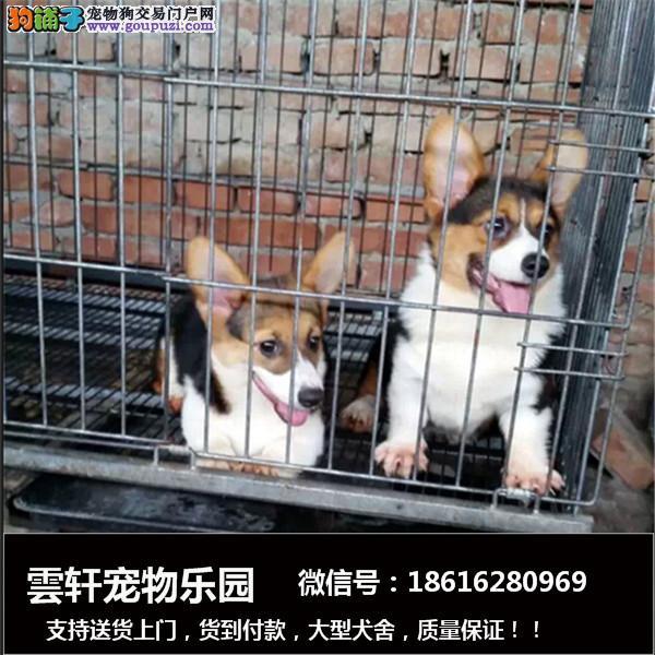 出售可爱纯种柯基幼犬一包养活一签协议