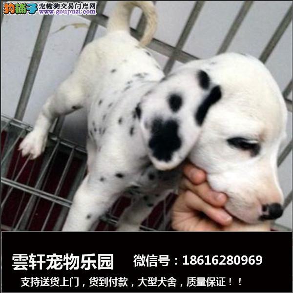 犬舍繁殖精品斑点狗便宜出售,包纯包健康包养活