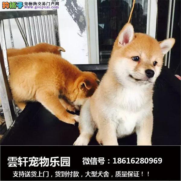 最长情的相伴 柴犬您的爱犬 给它一个温暖的家