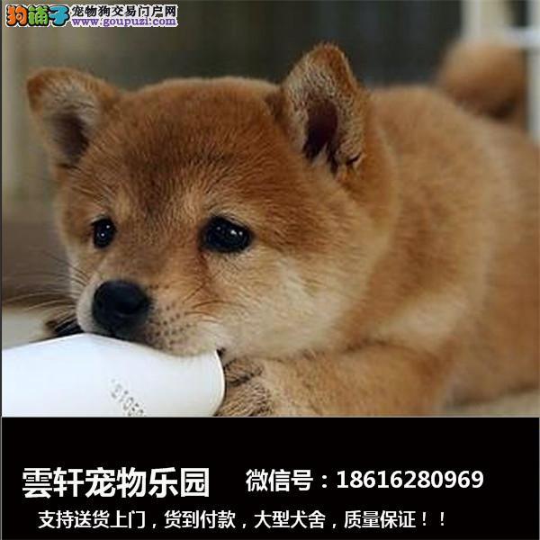常年出售日系秋田成犬,幼犬。纯正日系秋田尽在知