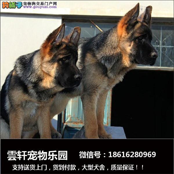 狗场出售纯种德国牧羊犬 公母齐全 欢迎狗场实地