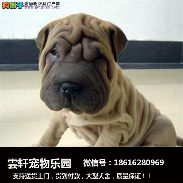 犬舍直销一精品沙皮犬一签协议一包养活