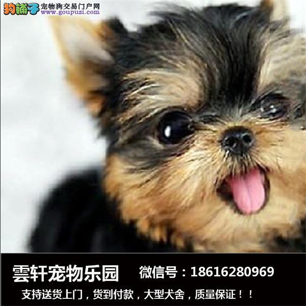 迷你小型西施犬出售,狗狗长不大的,很可爱,包健康