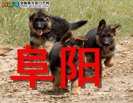 阜阳最大狗场狼狗犬销售,本地狗场几十个品种