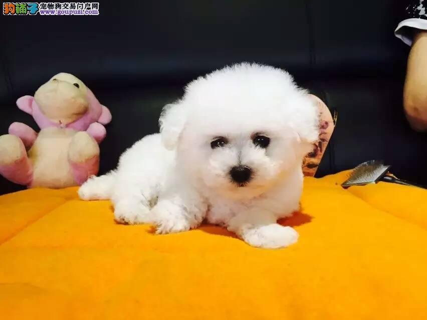 精品比熊幼犬 甜美可爱 专业繁殖犬舍丨支持送狗上门