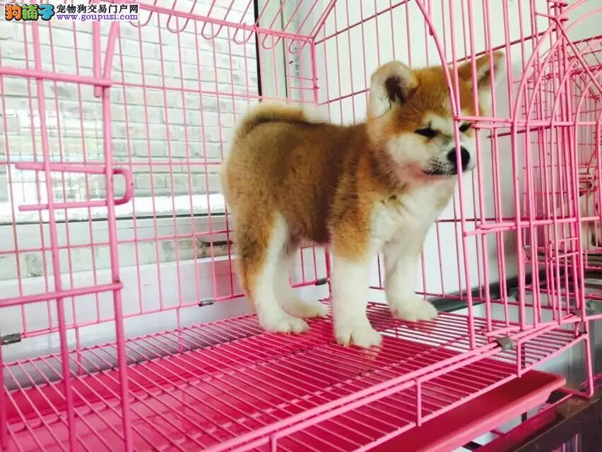 日系秋田犬保证证书齐全 多只可挑选
