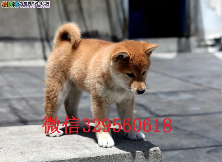 兰州柴犬 日系柴犬 柴犬价格 柴犬图片 兰州柴犬犬舍