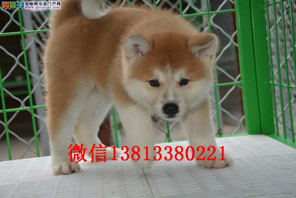 兰州秋田犬出售 兰州哪里卖秋田犬 日系纯种秋田犬价