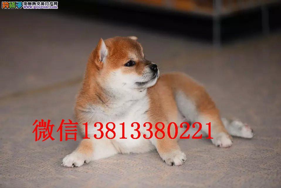 兰州柴犬多少钱 日系纯种柴犬多少钱 赛级柴犬幼犬