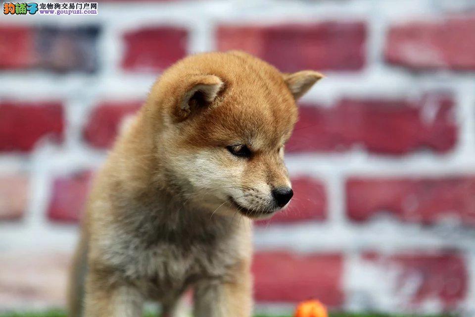 南昌哪里卖纯种柴犬 纯种日系柴犬 赤色柴犬价格