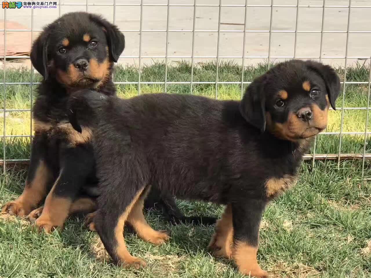 天津哪里有卖罗威纳 罗威纳多少钱 德系罗威纳幼犬