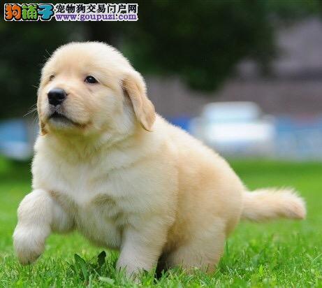 天津金毛哪里有卖 纯种黄金金毛猎犬多少钱 金毛犬舍