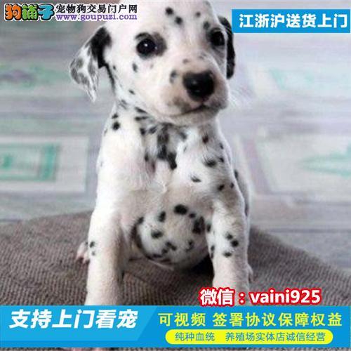 纯种专业 精品 宠物狗狗 斑点 大町犬幼犬出售