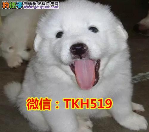 自家繁殖纯种大白熊犬 疫苗做齐 喜欢电话联系