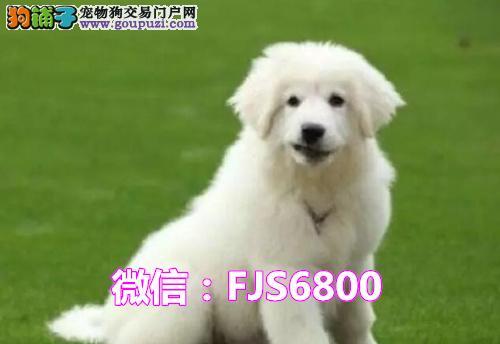 犬舍直销一精品大白熊一签协议一包养活一三个月可退换