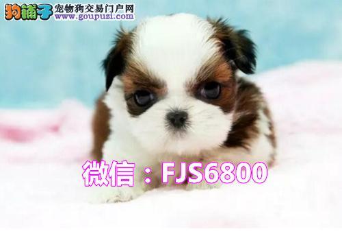 纯种西施幼犬 常年售卖 品质保障 专业的信誉服