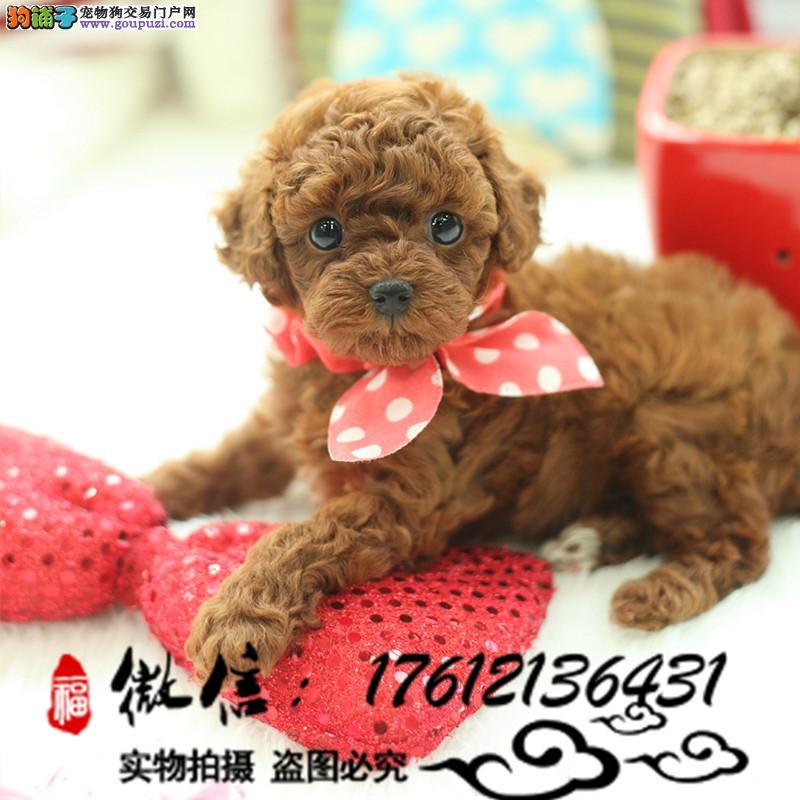 自家繁殖纯种泰迪幼犬茶杯犬价格优惠