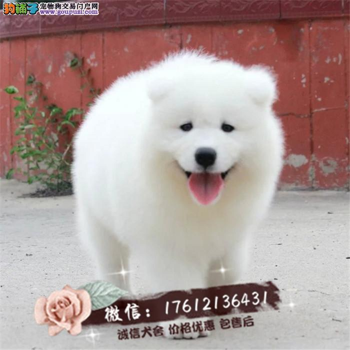 上海哪里有卖萨摩耶犬,萨摩耶大概多少钱一只