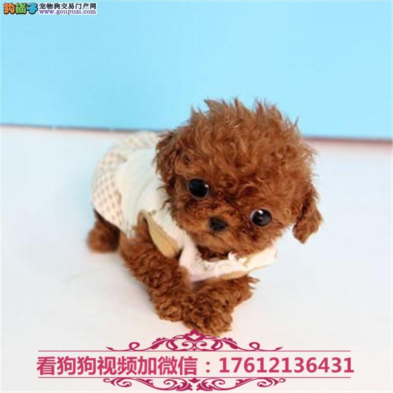 上海茶杯犬出售顶级韩版小体茶杯犬茶杯泰迪博美