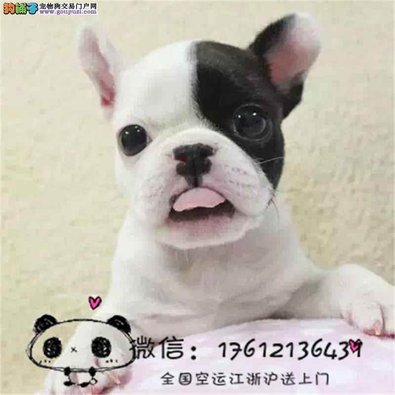 上海繁殖高品质法国斗牛犬纯种法斗幼犬签协议
