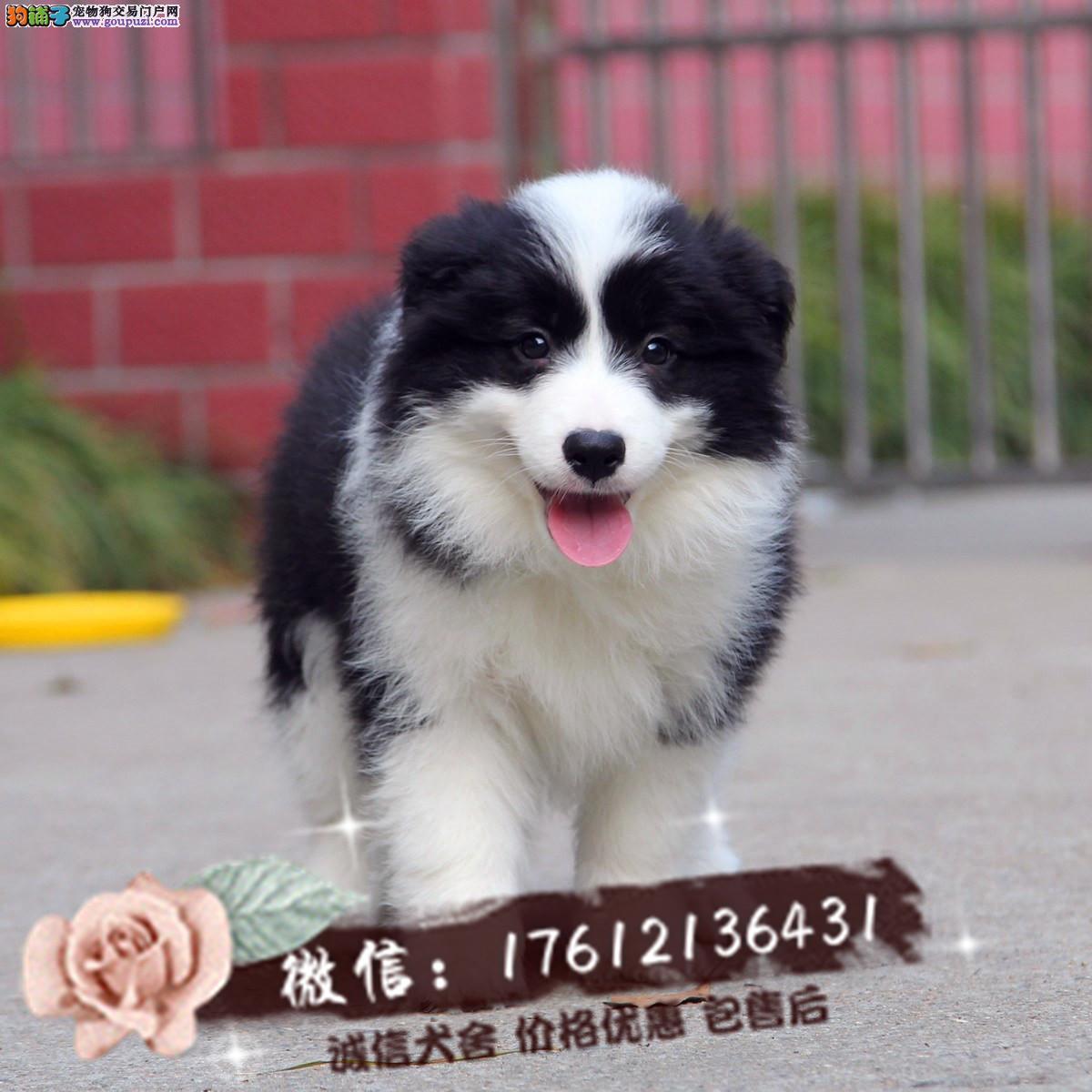 出售精品边境牧羊犬幼犬包纯种健康可上门