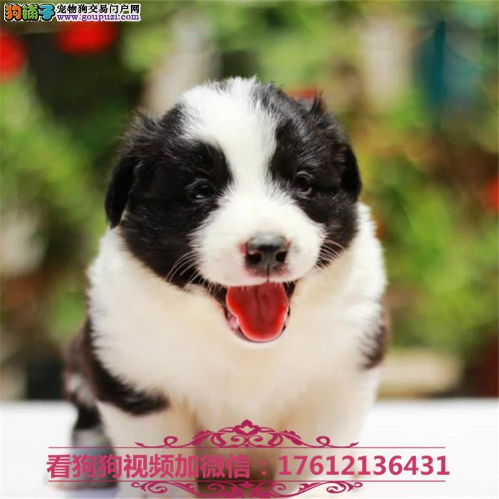 上海出售纯种边境牧羊犬 边牧幼犬包纯种
