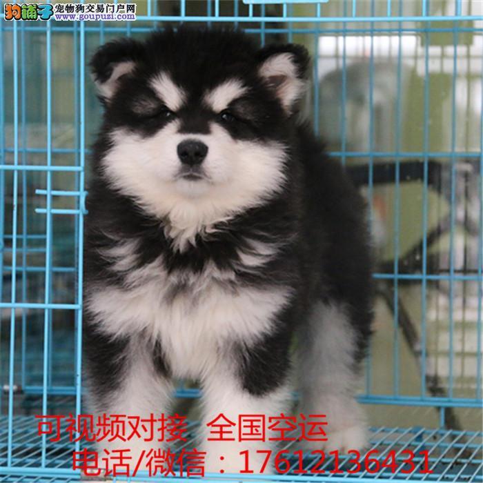 上海纯种阿拉斯加幼犬繁殖巨型熊版纯种阿拉斯加雪橇犬
