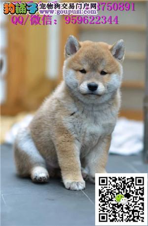 忠诚可靠的漂亮柴犬 个性机敏 独立 身体强健的幼柴犬