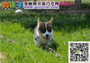 纯种柯基 可爱活泼小型犬 公母均有 保健康