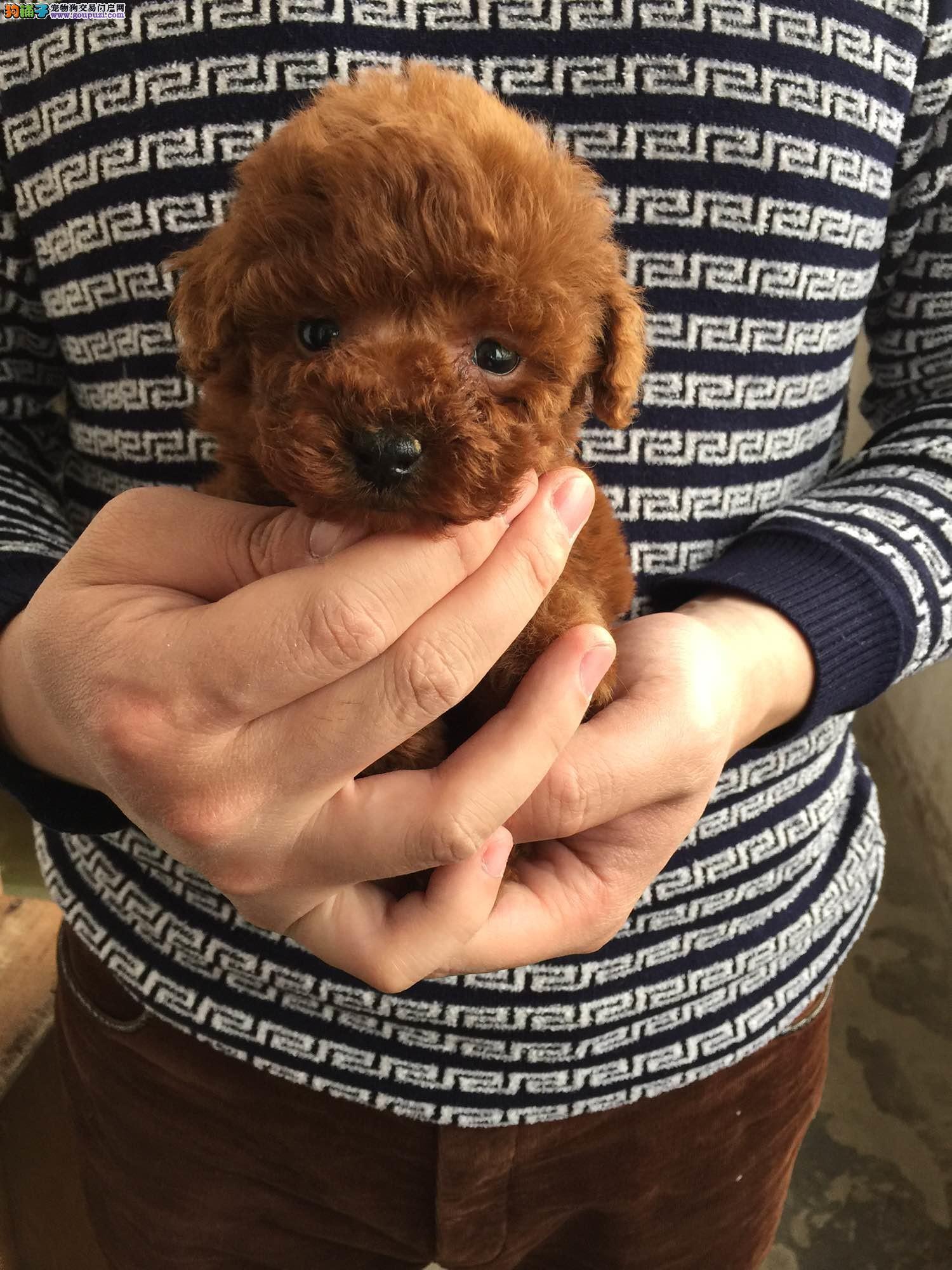呼市泰迪犬图片、泰迪熊、玩具泰迪犬、茶杯泰迪犬