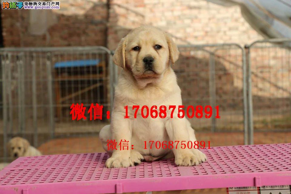 宁夏哪里有卖纯种拉布拉多 黑色黄色拉布拉多拉拉幼犬